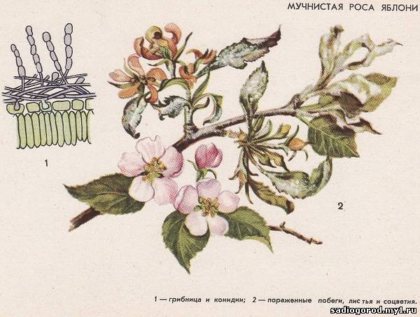 17 мучнистая роса яблони
