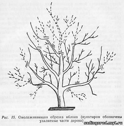 Рост дерева в высоту сдерживают путем