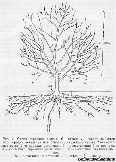 Деревья яблони средней